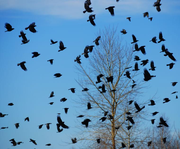 研究发现乌鸦大脑的神经元会对物体的数量做出响应