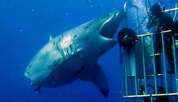 """墨西哥瓜达卢普岛附近海域发现世界最大最老的大白鲨""""深蓝""""(Deep Blue)"""