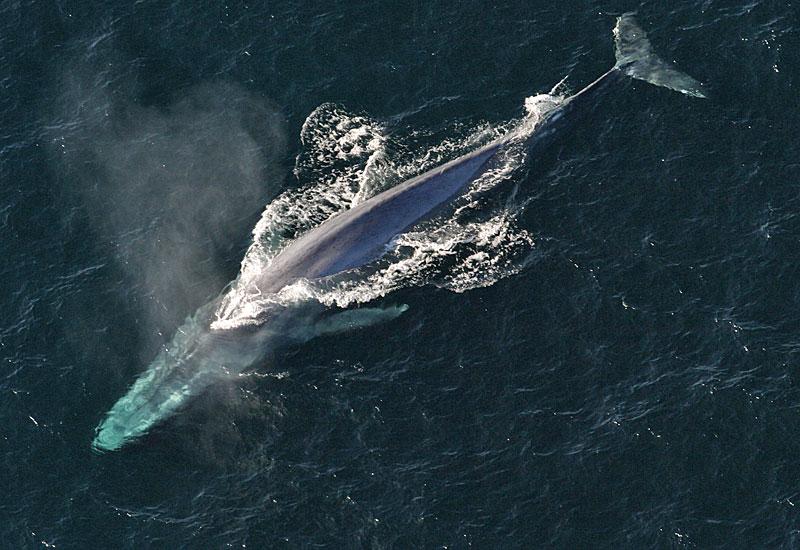 鲸鱼的舌和嘴中的神经可以延展至原先长度的1倍以上