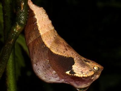 为了活下来!蝶蛹伪装成眼镜蛇