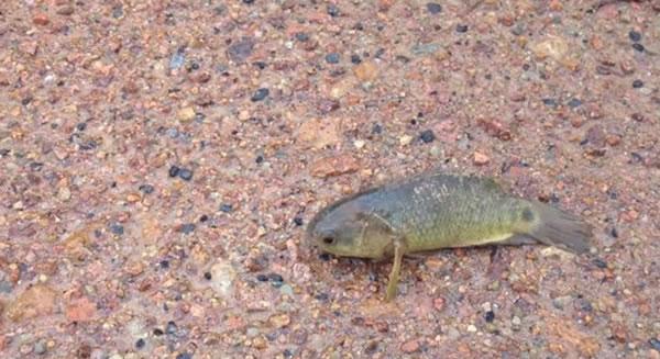 """澳洲昆士兰发现怪鱼""""攀鲈""""的踪迹"""