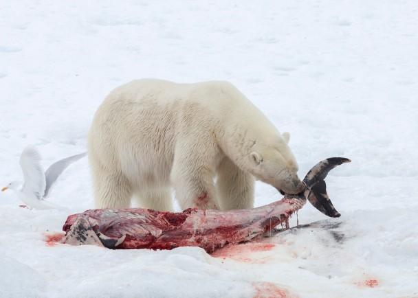 北极熊把海豚作为粮食