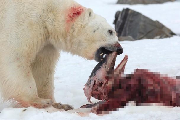北极熊差不多把其中一条海豚吃光