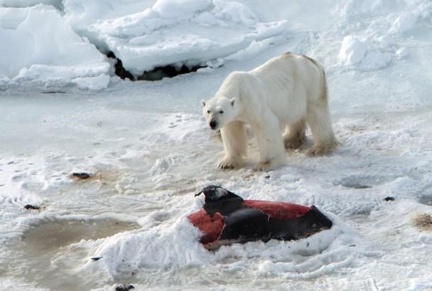 把另一条海豚尸埋在雪下