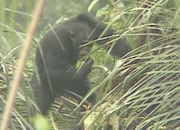 黑猩猩利用树叶吸吮棕榈树的树液