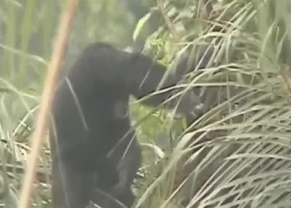 黑猩猩喝完树液后会有酒醉迹象