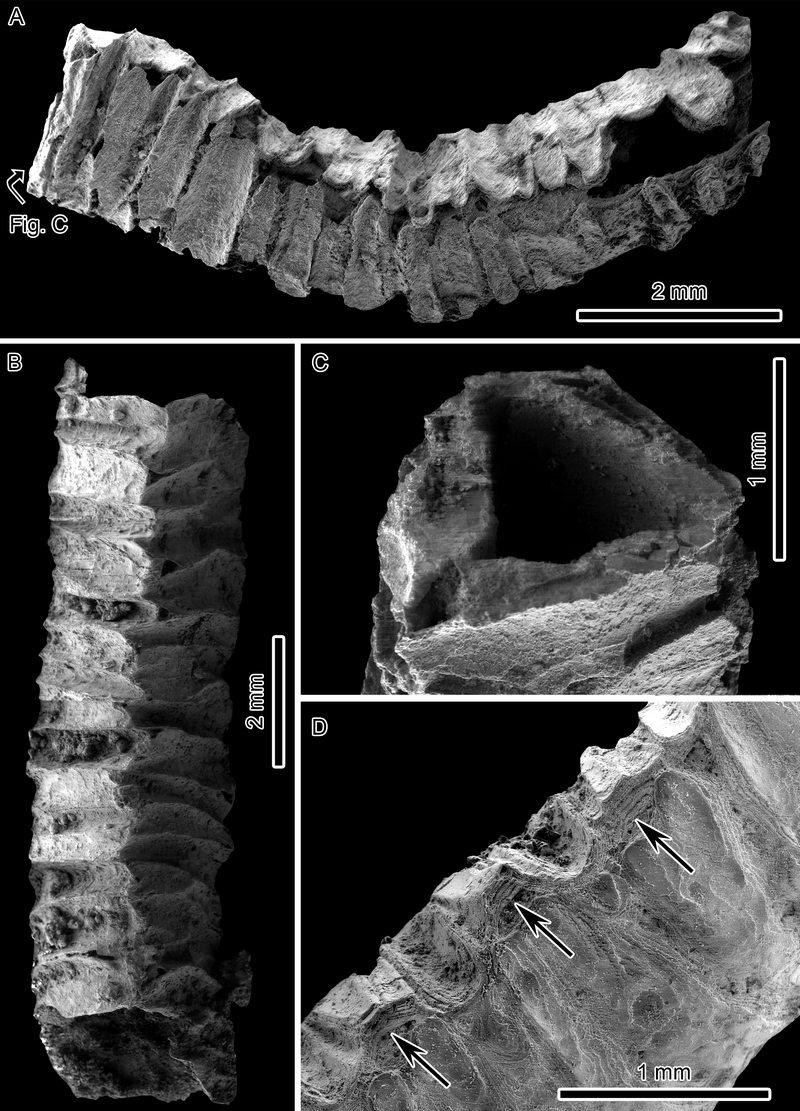 管体发育三辐射对称特征的新种Sinotubulites triangularis