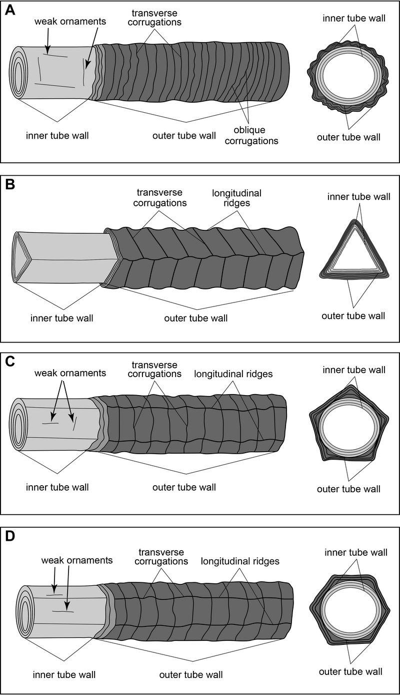 Sinotubulites化石4个种的管体形态特征复原简图