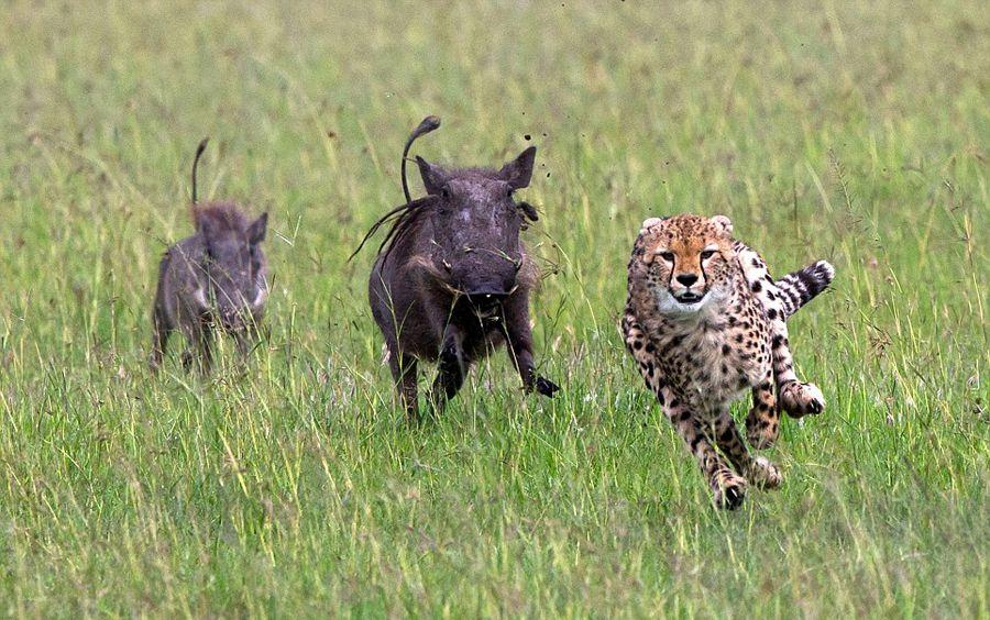 肯尼亚猎豹捕猎不成反被疣猪追赶