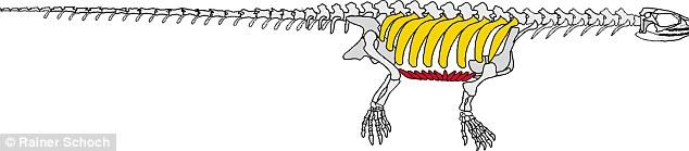 """""""祖龟""""Pappochelys骨架复原图"""