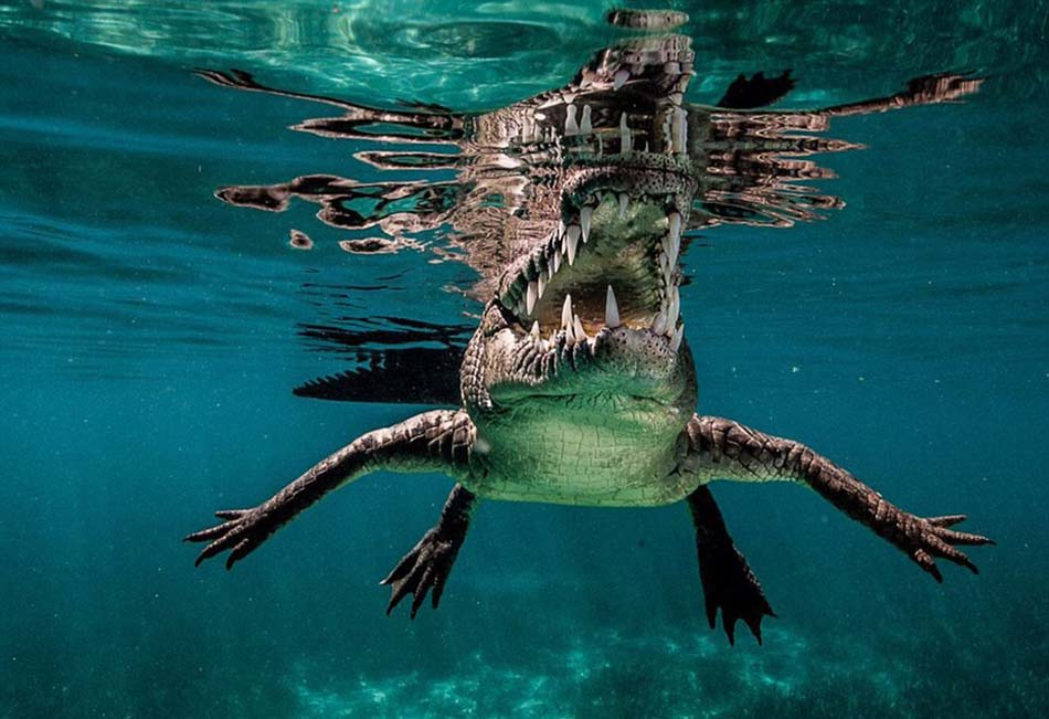 摄影师在古巴女王花园海洋公园抓拍鲨鱼却遭遇水下掠食者——咸水鳄