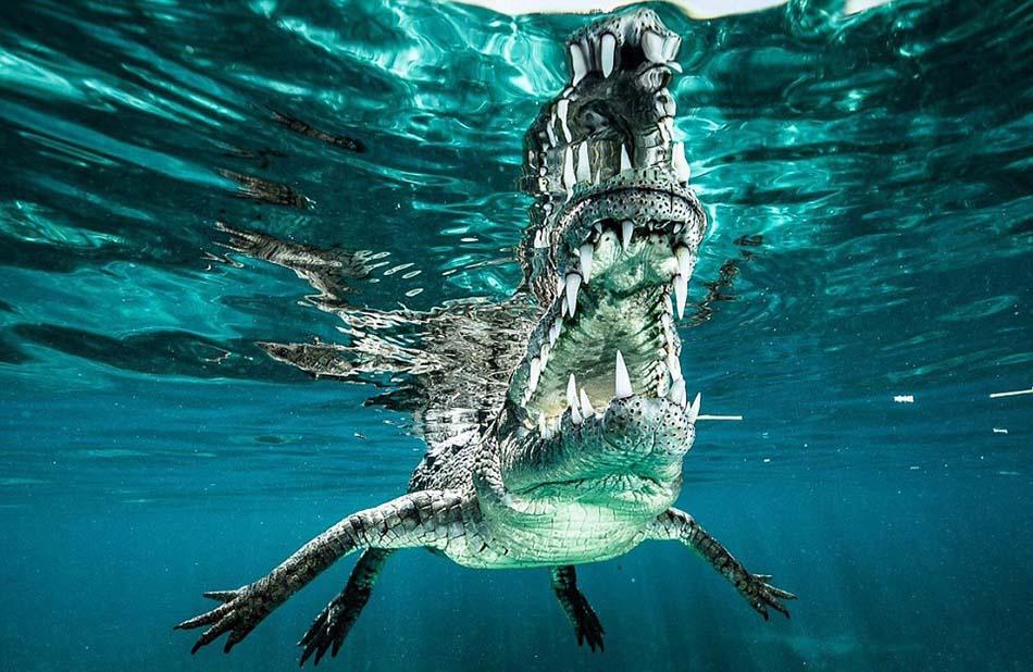 这条鳄鱼体长超过3.6米,卡斯蒂洛与其遭遇时没有任何防护设备