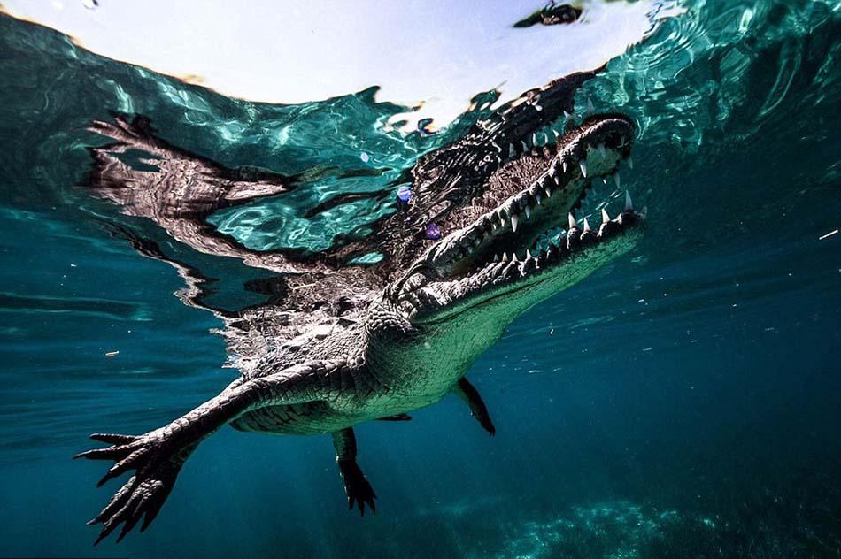 卡斯蒂洛游到距离鳄鱼非常近的地方,抓拍到令人难以置信的照片,包括鳄鱼张开大嘴的样子