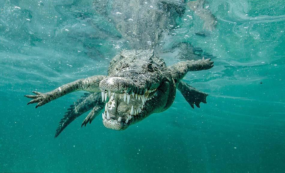 卡斯蒂洛当时正在古巴女王花园海洋公园中潜水,不想遇到这条鳄鱼