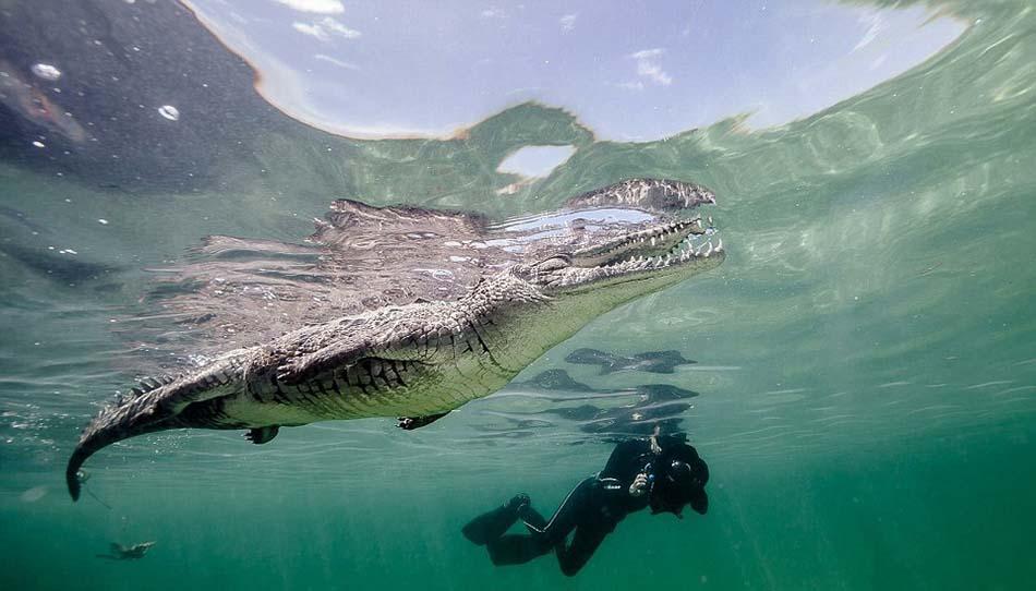 卡斯蒂洛原本想要拍摄鲨鱼照片,但一条大鳄鱼却出现在那里