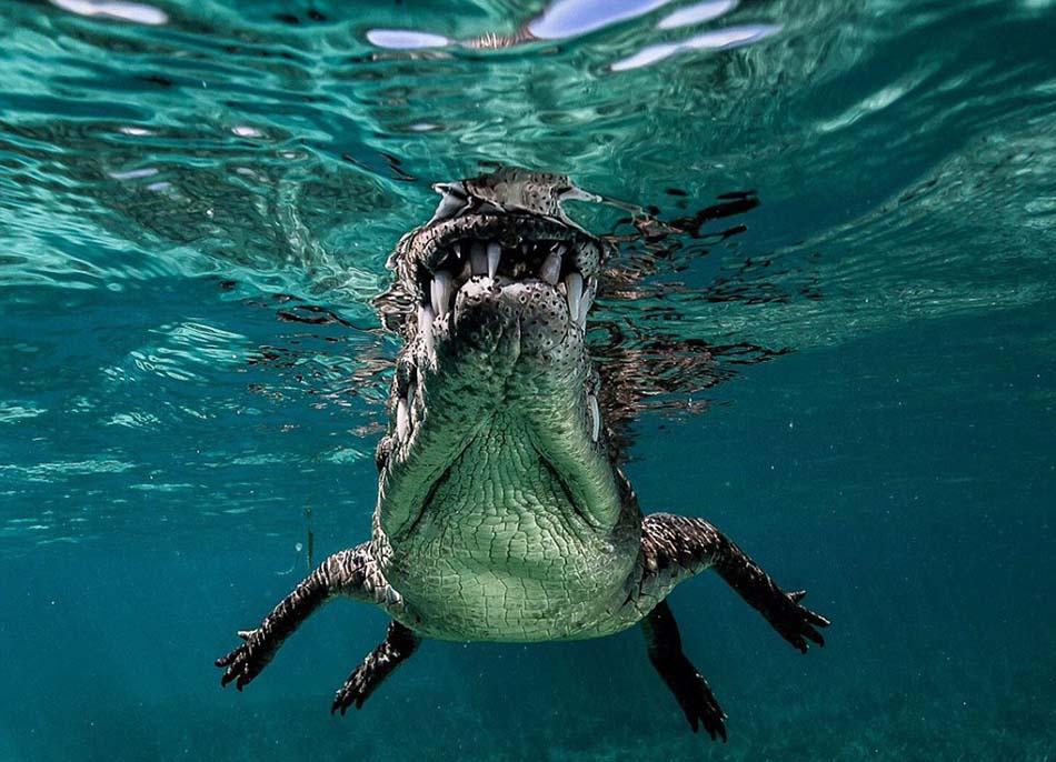 在距离最近的时候,鳄鱼的牙齿甚至碰触到相机的镜头