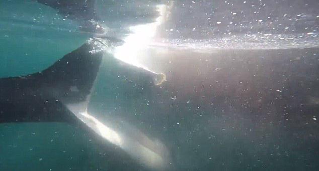 """美国渔船遭大白鲨环绕""""视察"""""""