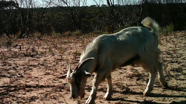 默里日落国家公园估计有超过8000只野山羊