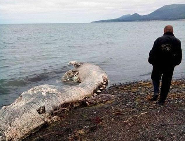 """俄罗斯远东库页岛海岸惊现巨形有毛""""海怪""""尸体"""