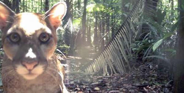 一个被调查岛屿上设置的照相机陷阱记录下的一只美洲狮。