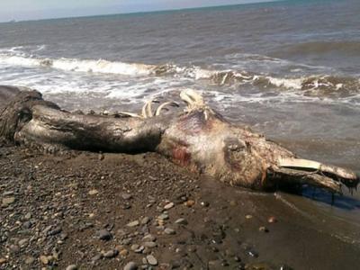 海怪现身:俄罗斯库页岛海滩惊现神秘海洋怪兽尸体