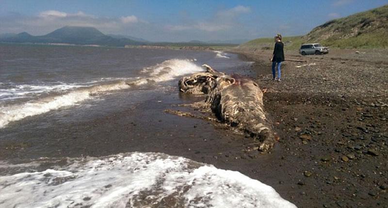 这种生物被冲上俄罗斯东部海岸,但其原产地还不得而知。