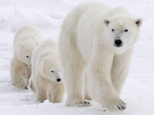 温室气体排放对北极熊造成的v温室迫在眉睫活色生香恐龙图片