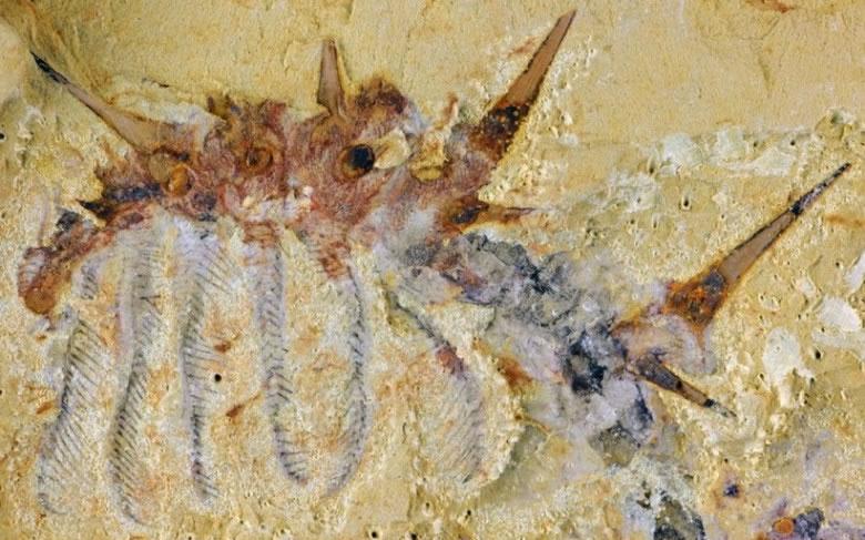 云南大学研究员所摄的化石相片可见该虫背部和体侧有多根尖刺。