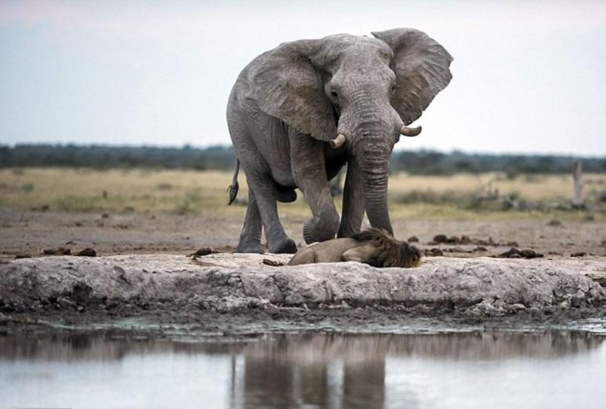 非洲博茨瓦纳口渴雄狮在水潭前喝水险遭大象踩死