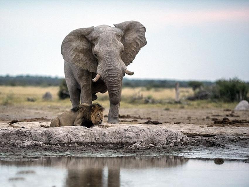 被踩前的瞬间,狮子从水中抬起头来