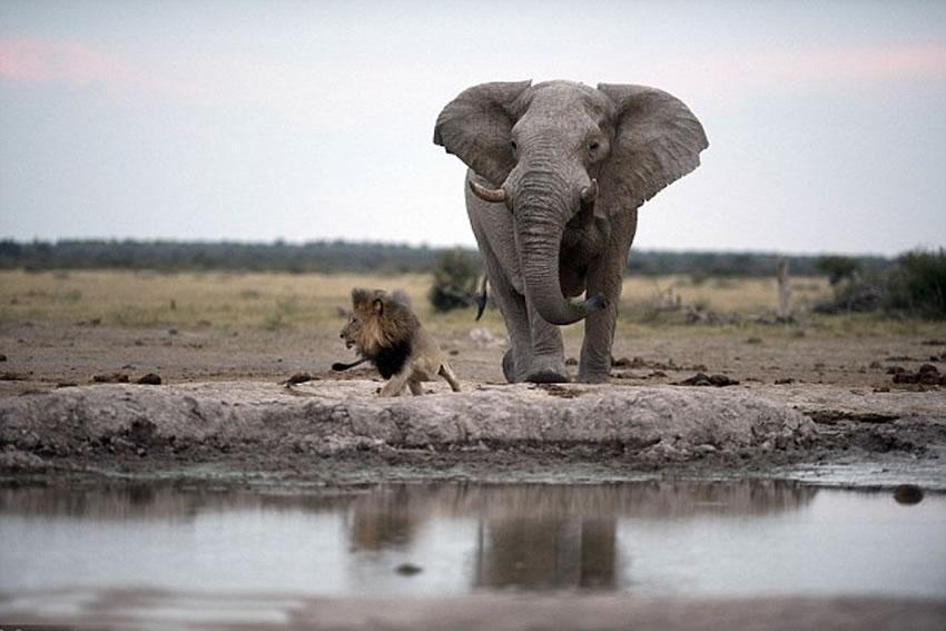 雄狮发现头顶是大象脚底板,立刻溜之大吉。