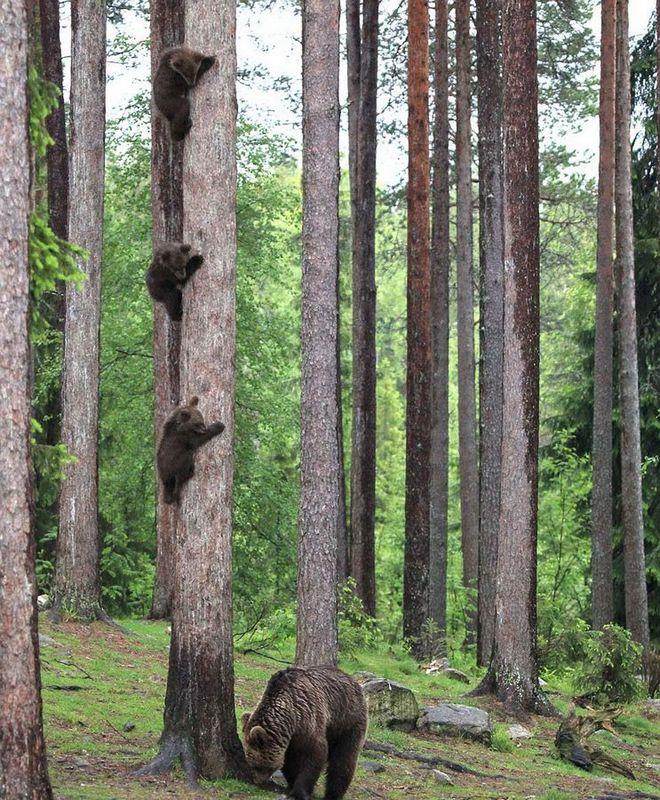 芬兰东部森林小棕熊遇大公熊被吓坏 爬树躲避危险