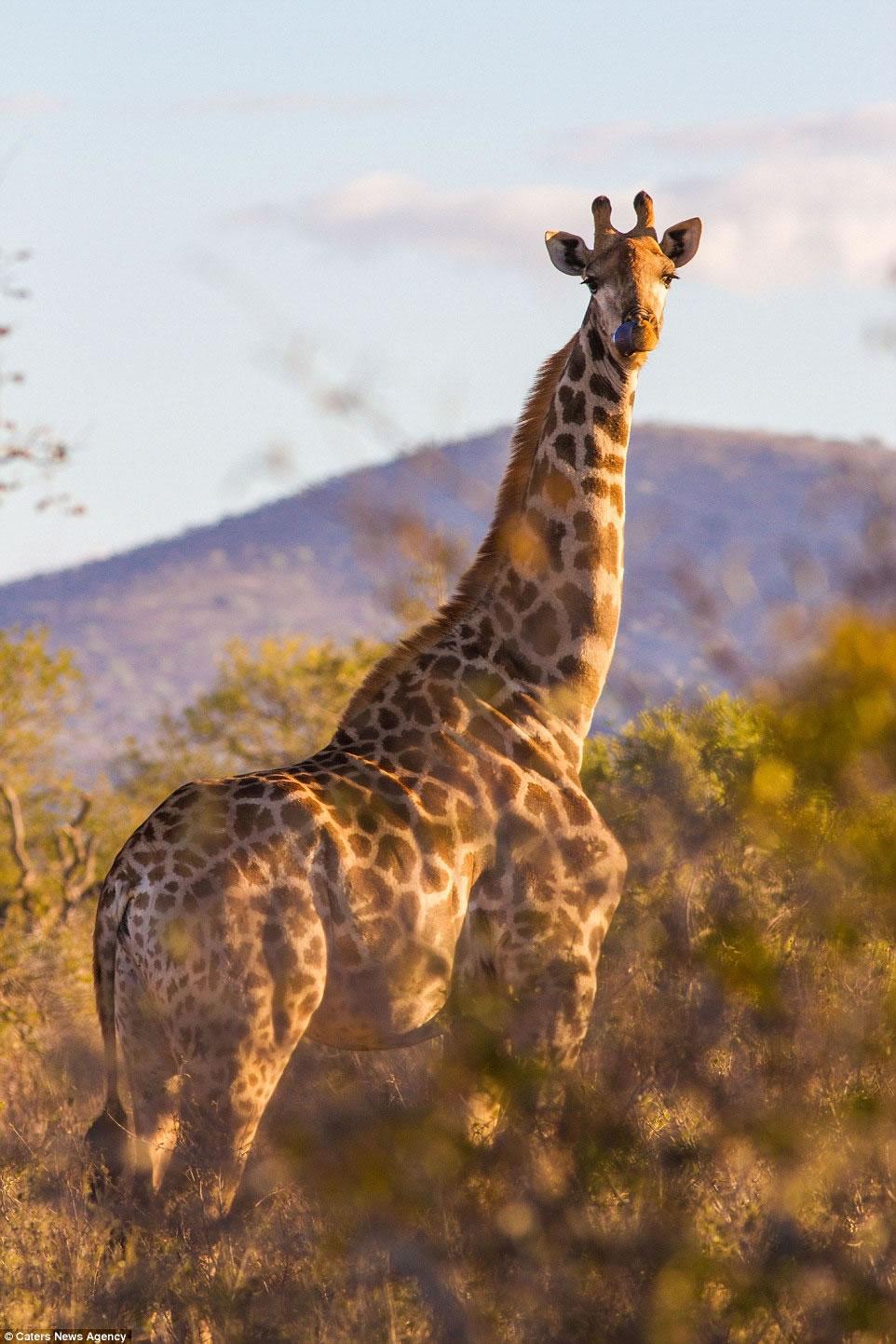 """摄影师在南非拍到""""筋肉长颈鹿"""""""