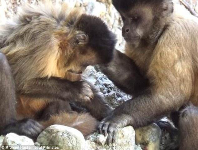 雌性黑纹卷尾猴会用木棍来清理鼻孔
