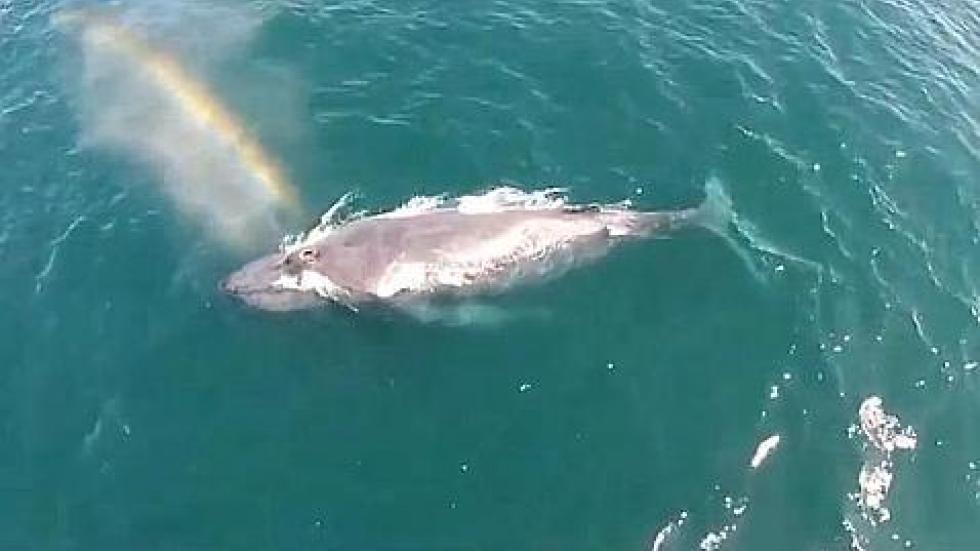 美国加州一头座头鲸浮出水面换气喷出彩虹