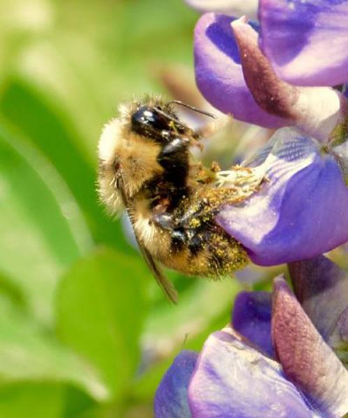 一只红束带大黄蜂正在接触羽扇豆。它浑身沾满花粉,显示这种昆虫在传播花粉时的功效之高难以置信。然而大黄蜂在多个大陆上应对气候变化能力很差,许多品种的大黄蜂已从炎热