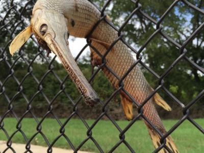 """美国德州大洪水退后""""活化石""""雀鳝卡在网球场护栏"""