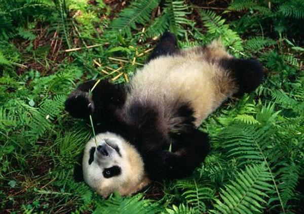 大熊猫懒散的原因:拥有不够活跃的甲状腺