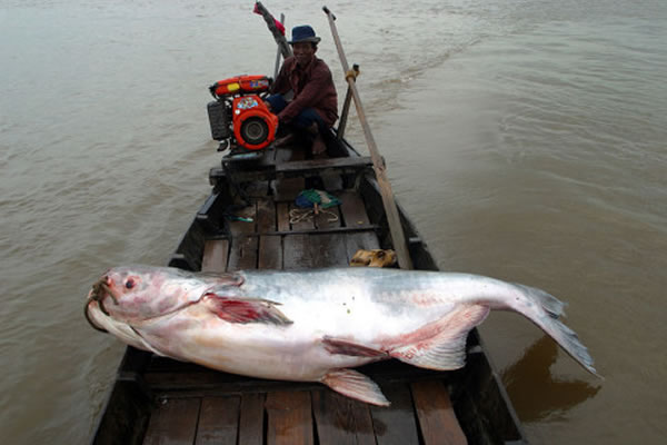 湄公河巨鲶能长到290千克以上,长度可超过3米。不幸的是,这种大鱼受到了诸多威胁,如今已是极危状态。