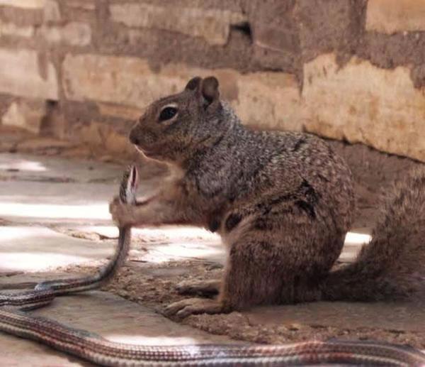 美国加利福尼亚州瓜达洛普山国家公园岩松鼠吞食一条蛇