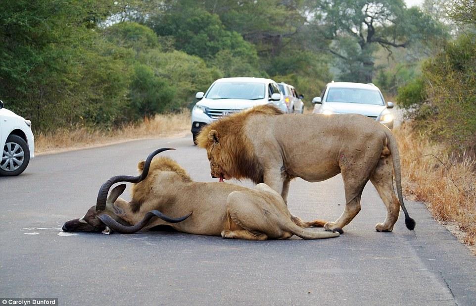 南非克留格尔国家公园两只狮子在游客车前猎捕羚羊