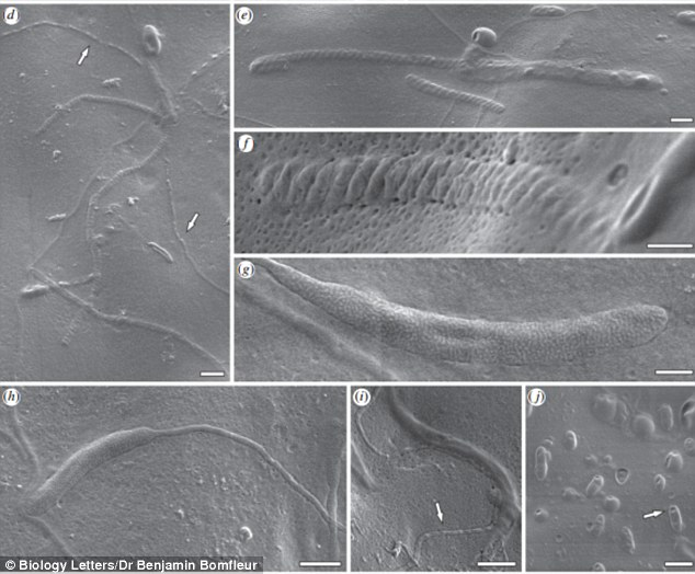 南极洲5000万年前化石环带纲茧发现最古老的动物精子