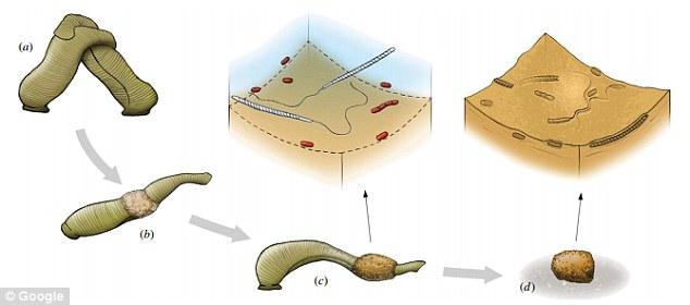 在抽取了化石后,研究人员使用了光和扫描电子显微镜、以及基于辐射的X设线层析成像来检测样本。环带纲动物以黏液的形式分泌茧,在上面沉积一层蛋白质物质。随着雌雄同体的
