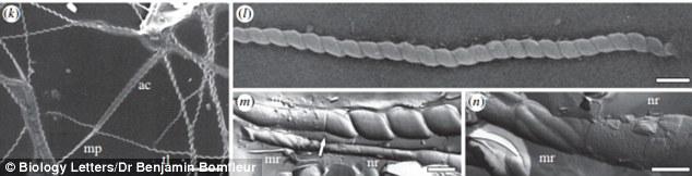 """在其中一个化石化的蛋壳的壁层上,瑞典自然历史博物馆的研究人员发现了""""钻头""""的碎片,以及一个他们认为是蠕虫精子的尾巴。这个""""钻头""""形状出现在类似蛭类的""""小龙虾蠕虫"""