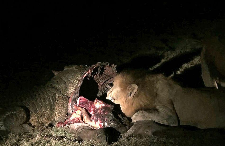 南非克鲁格国家公园饥饿鳄鱼要从雄狮口中夺食最终被击退