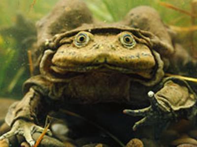 青蛙等两栖动物或将重蹈恐龙的灭亡之路