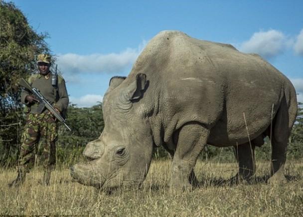 苏丹是全球硕果仅存的雄性白犀牛