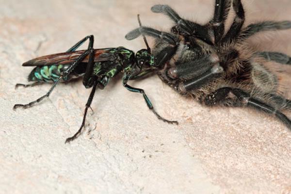 沙漠蛛蜂是一种非常聪明的寄生蜂,它们攻击捕鸟蛛而非人类。沙漠蛛蜂通过蜇刺使捕鸟蛛麻痹,然后把它们拖到洞穴内。沙漠蛛蜂会将卵产在捕鸟蛛体内,卵孵化成幼虫后以还活着