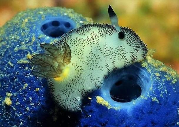 """""""碎毛盘海蛞蝓""""的样子像极兔子"""
