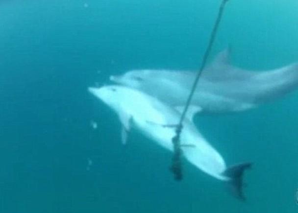 小海豚腹部中鈎  母豚(后)努力拯救小海豚无方